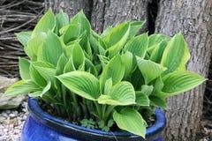 Hosta avec de petites feuilles dans le pot décoratif Photos libres de droits