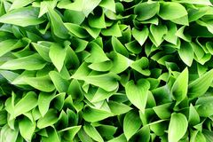 Hosta Background. Detail of newly emerging hosta leaves in early spring stock image