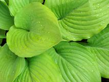 Hosta big leaves_background Royalty Free Stock Photo
