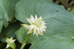 Hosta Bloom 1