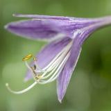 Hosta blossom Stock Photo