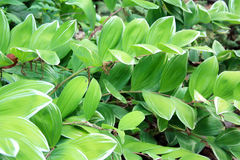 Hosta boarder flowers front view Royalty Free Stock Photography