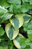 Hosta `Brim Cup`. The originator Aden. Plants for a shady garden. A stunning variety with ornamental leaves stock images