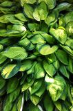 Hosta. Bursting green foliage perennial comes back larger every year. Peaceful. yellow. garden shade plant. Landscape beauty. refreshing. Environmentally Stock Image