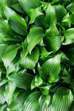 Hosta Royalty Free Stock Photos