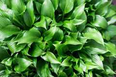 Hosta Stock Image