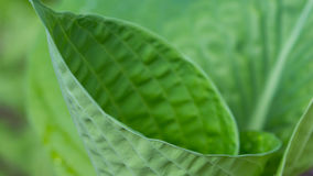 Hosta curl in spring Stock Photography