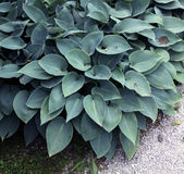 Hosta with dark green leaf Stock Image