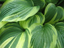 Hosta de Verigated - detalhe fotografia de stock