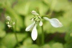 Hosta del fiore Immagine Stock