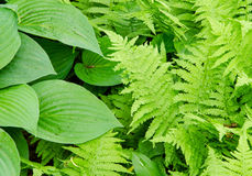 Hosta and Fern leave Royalty Free Stock Photography