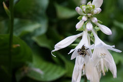 Hosta flower with bumble bee Royalty Free Stock Photography
