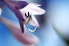 Hosta flower. Close up of hosta flower Stock Photos