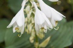 Hosta Flower Cluster 2