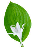 Hosta flower and leaf Stock Photo