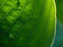 Hosta flower, ornamental plant for landscaping park and garden design.