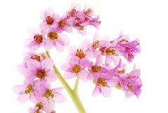 Hosta flowers Royalty Free Stock Image