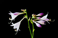 Hosta flowers and buds royalty free stock image