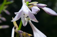 Hosta flowers stock photos