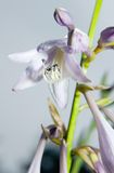 Hosta flowers Royalty Free Stock Photography
