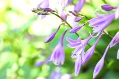 Hosta flowers closeup Stock Image