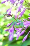 Hosta flowers closeup Royalty Free Stock Image
