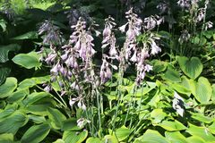 Hosta flowers with pink blossoms and large green and yellow leaves. Stock Images
