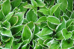 Hosta foliage Royalty Free Stock Photo