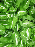 Hosta Foliage Stock Photo