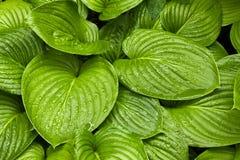 Hosta foliage Royalty Free Stock Image