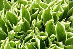 Hosta foliage Stock Photos