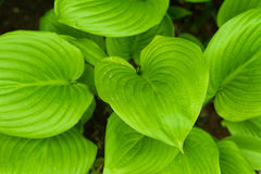 Hosta fortunei Royalty Free Stock Photography