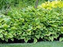 Hosta, funkia, decorative garden plant