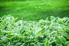 Hosta, garden ornamental plant Royalty Free Stock Images