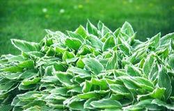 Hosta, garden ornamental plant closeup Royalty Free Stock Photography
