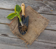 Hosta and garden tools Royalty Free Stock Images