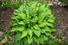 Hosta is a genus of perennial herbaceous plants Stock Photos