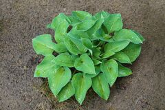 Hosta is a genus of plants commonly known as hostas, plantain lilies in Britain and occasionally by the Japanese name giboshi