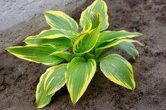 Hosta is genus of plants commonly known as hostas, plantain lilies or giboshi.  Nature background image