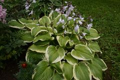 Hosta is a genus of plants commonly known as hostas, plantain lilies and occasionally by the Japanese name giboshi