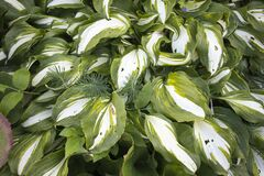 Hosta is a genus of plants commonly known as hostas, plantain lilies and occasionally by Japanese name giboshi