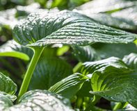 Hosta green leaves with dewdrops