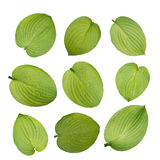 Hosta green leaves isolated on white stock photography