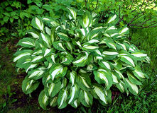 Hosta Stock Photography