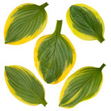 Hosta green and yellow striped leaves isolated on white Royalty Free Stock Photos