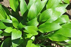 Hosta Guacomole Stock Photography