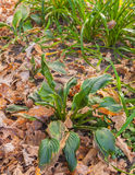 Hosta and Hemerocallis  in autumn Royalty Free Stock Photo