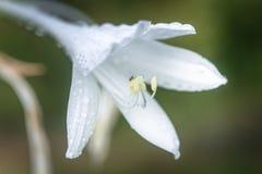 Hosta, hostas, plantain lilies, giboshi white flower with drop macro view. Background from hosta leaves. Perennial