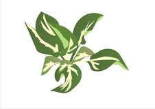 Hosta hybride Whirlwind Royalty Free Stock Images