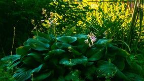 Hosta hypnotique d'usine avec beaucoup de grandes feuilles vertes photos stock